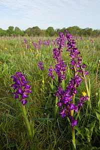Green-winged orchids (Anacamptis morio) flowering in meadow, Ashton Court, North Somerset, UK, May.  -  Michael Hutchinson