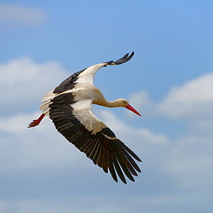 White stork (Ciconia ciconia) in flight, Alentejo, Portugal, April. - Loic  Poidevin