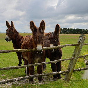 Poitou donkeys in field, looking over fence, Vendee, France, May. - Loic  Poidevin