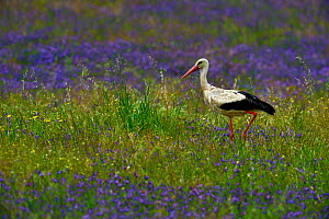 White stork (Ciconia ciconia) in grassland with flowers, Alentejo, Portugal, April. - Loic  Poidevin
