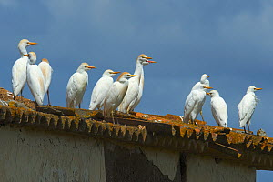 Western cattle egret (Bubuclus ibis) perched on roof, Alentejo, Portugal, April. - Loic  Poidevin