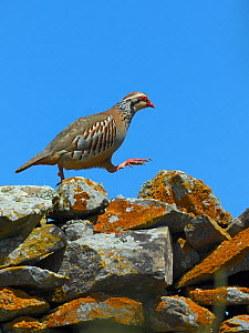 Red legged partridge (Alectoris rufa) walking across dry stone wall, Alentejo, Portugal, April. - Loic  Poidevin
