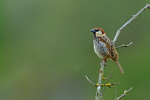 Spanish sparrow (Passer hispaniolensis) perched on branch, Spain, April.  -  Loic  Poidevin