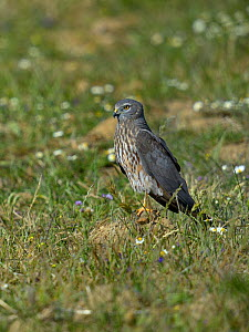 Montagu's harrier (Circus pygargus) on ground, Spain, April.  -  Loic  Poidevin