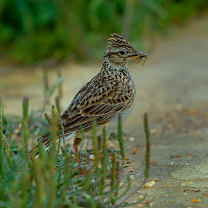 Crested lark (Galerida cristata) on ground with insect prey, Alentejo, Portugal, April.  -  Loic  Poidevin