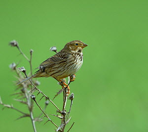 Corn bunting (Emberiza calandra) perched on branch, Spain, April - Loic  Poidevin