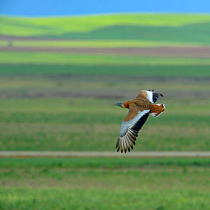 Great bustard (Otis tarda) in flight, Extremadura, Spain, April. - Loic  Poidevin
