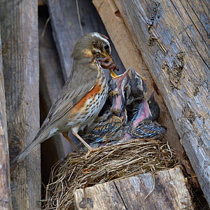 Redwing (Turdus iliacus) feeding chicks earthworms in the nest, Finland, April. - Loic  Poidevin