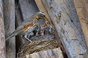 Redwing (Turdus iliacus) feeding chicks an earthworm in the nest, Finland, April. - Loic  Poidevin