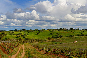Country track with vineyards, Extremadura, Spain, April 2015. - Loic  Poidevin