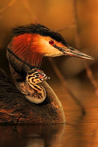 Great crested grebe (Podiceps cristatus cristatus) with young chick on back, Cardiff, UK, April. - Andy  Rouse