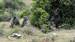 Family group of Chacma baboons (Papio hamadryas ursinus), with juveniles suckling and playing, De Hoop Nature Reserve, Western Cape, South Africa, December.  -  Tony Phelps