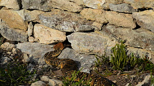 Puff adder (Bitis arietans) entering a hole in a wall, De Hoop Nature Reserve, Western Cape, South Africa, September.  -  Tony Phelps