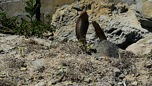 Two Cape cobras (Naja nivea) courting, with hoods spread, De Hoop Nature Reserve, Western Cape, South Africa, October.  -  Tony Phelps