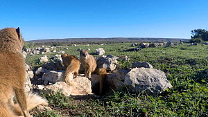 Family group of Yellow mongooses (Cynictis penicillata) at a den, with a  male and juvenile leaving, De Hoop Nature Reserve, Western Cape, South Africa, May. - Tony Phelps
