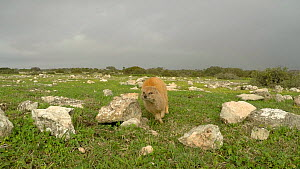 Timelapse clip of Yellow mongooses (Cynictis penicillata) running towards the camera, De Hoop Nature Reserve, Western Cape, South Africa, July. - Tony Phelps
