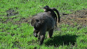 Female Chacma baboon (Papio hamadryas ursinus) feeding on grass, with a baby on its back, De Hoop Nature Reserve, Western Cape, South Africa, April.  -  Tony Phelps