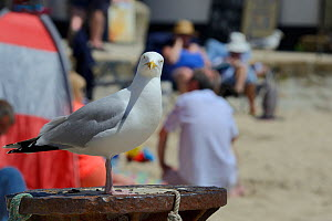 Adult Herring gull (Larus argentatus) perched on post at beach, looking at camera, St.Ives, Cornwall, UK, June.  -  Nick Upton