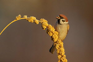 RF- Eurasian tree sparrow (Passer montanus)  feeding on Millet grain / seed head. Southern Norway. December. (This image may be licensed either as rights managed or royalty free.)  -  Andy Trowbridge