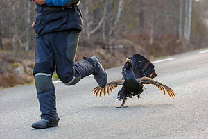 Capercaillie (Tetrao urogallus) male displaying and chasing person on road. Southern Norway. May. - Andy  Trowbridge
