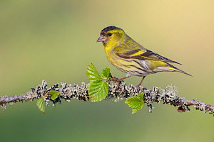 Male Siskin (Carduelis spinus) perched on lichen covered silver birch (Betula pendula) branch. Southern Norway. May.  -  Andy  Trowbridge
