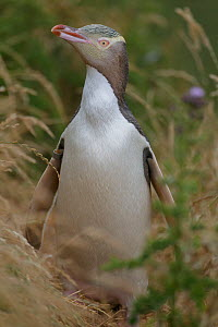 Yellow-eyed penguin (Megadyptes antipodes) standing in long grass. Katiki Point, Moeraki, Otago, New Zealand. January. Endangered species. - Andy  Trowbridge
