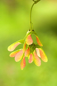 Sycamore (Acer pseudoplatanus) seeds, Dumfries and Galloway, Scotland, UK, June.  -  Chris  Mattison