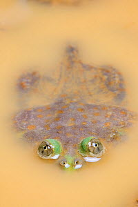 Budgett's Frog (Lepidobatrachus laevis) mostly submerged in muddy water, with eyes visible above water, captive, occurs in South America.  -  Chris  Mattison