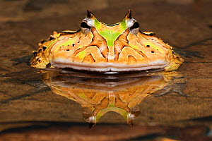 Horned frog (Ceratophrys sp) in shallow water, captive occurs in South America.  -  Chris  Mattison