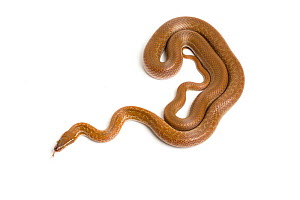 Cape house snake (Boaedon capensis) on white background.  Captive, occurs in South Africa.  -  Chris  Mattison