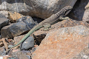 Lava lizard (Microlophus atacamensis) Pan de Azucar National Park, Chile.  -  Chris  Mattison