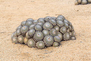 Barrel cacti (Copiapoa columna alba) all orientated to the north to minimise damage by the midday sun. Pan de Azucar National Park, Chile.  -  Chris  Mattison