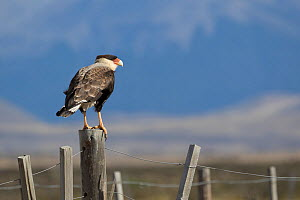 Southern crested caracara (Caracara plancus) Torres del Paine National Park, Patagonia, Chile.  -  Chris  Mattison