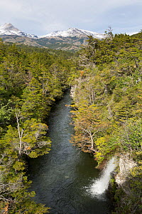 Southern beech forest (Nothofagus) surrounding river with waterfall, and mountains in the background.  Torres del Paine National Park, Chile. March.  -  Chris  Mattison