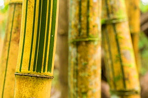 Bamboo (Bambusa) patterns on stems, Nosy Mangabe, Madagascar.  -  Chris  Mattison