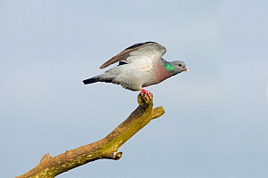 Stock dove (Columba oenas) stretching wings, Norfolk, England, UK, April.  -  Ernie  Janes