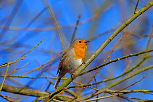 RF- Robin (Erithacus rubecula) singing, Norfolk, England, UK, February. (This image may be licensed either as rights managed or royalty free.)  -  Ernie  Janes