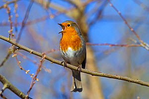 Robin (Erithacus rubecula) singing, Norfolk, England, UK, February. - Ernie  Janes