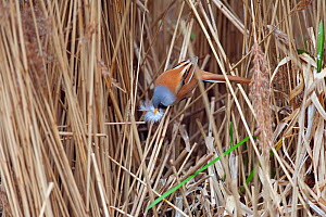 Bearded tit (Panurus biarmicus) collecting feather for nest building,  RSPB Titchwell Reserve, Norfolk, England, UK, April.  -  Ernie  Janes