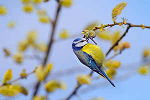 Blue tit (Cyanistes caeruleus) hanging on Pussy willow branch, Norfolk, England, UK, April. - Ernie  Janes