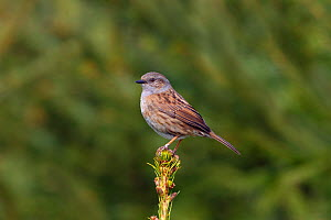 Dunnock (Prunella modularis) perched on conifer, Norfolk, England, UK, April.  -  Ernie  Janes