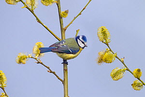 Blue tit (Cyanistes caeruleus) on Willow blossom, Norfolk, England, UK, April.  -  Ernie  Janes