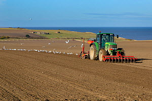 Tractor drilling barley at Weybourne, Norfolk, England, UK. February 2015. - Ernie  Janes