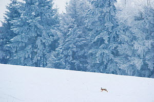 Brown hare (Lepus europaeus) adult running in wintery landscape. Derbyshire, UK, January.  -  Andrew Parkinson