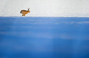 Brown hare (Lepus europaeus) adult across a snow covered field, which partly in shadow. Derbyshire, UK, January.  -  Andrew Parkinson