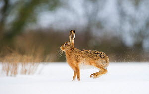 Brown hare (Lepus europaeus) adult female skidding to a halt in a snow covered field, Derbyshire, UK, March. - Andrew Parkinson