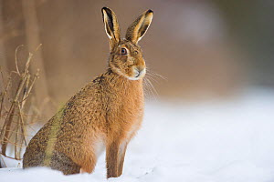 Brown hare (Lepus europaeus) adult sitting in a snow covered field. Derbyshire, UK, January.  -  Andrew Parkinson