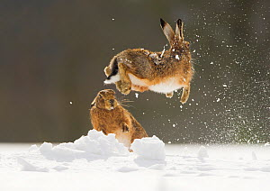 Brown hare (Lepus europaeus) adult female (mid-air) leaping out of her form in snow,  away from male, Derbyshire, UK. March. - Andrew Parkinson