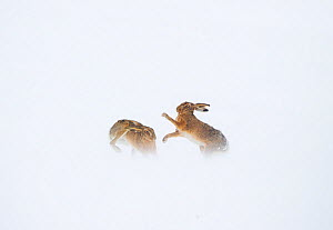 Brown hare (Lepus europaeus) boxing behaviour in a snow covered field, Derbyshire, UK, March. - Andrew Parkinson
