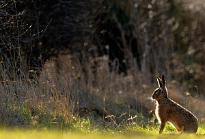 Brown hare (Lepus europaeus) adult backlit near a hedgerow at dawn, Derbyshire, UK, March.  -  Andrew Parkinson
